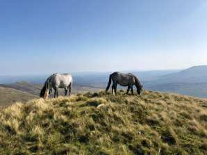 Wild ponies on slopes of Pen yr Helgi Du (Carneddau range)